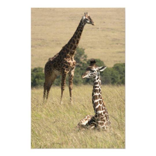 Masai giraffes, Giraffa camelopardalis Photo Print