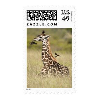 Masai giraffes Giraffa camelopardalis Postage Stamp
