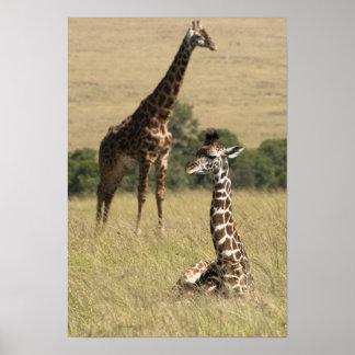 Masai giraffes, Giraffa camelopardalis Print