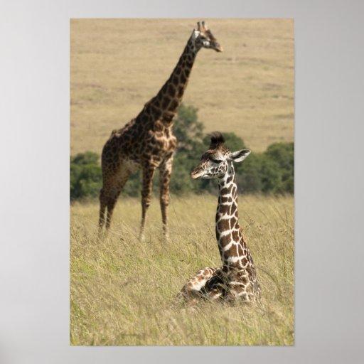 Masai giraffes, Giraffa camelopardalis Poster