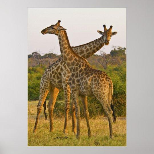 Masai Giraffes Kenya Africa poster