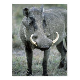 Masai Mara del africanus del Phacochoerus de Tarjetas Postales