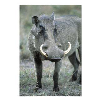 Masai Mara del africanus del Phacochoerus de Warth Cojinete