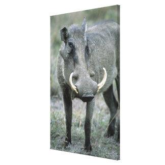 Masai Mara del africanus del Phacochoerus de Warth Impresión En Lona