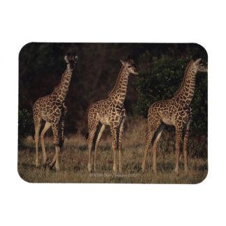 Masai Mara National Reserve 3 Magnet
