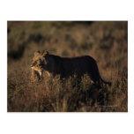 Masai Mara National Reserve 4 Postcard