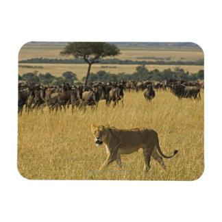 Masai Mara National Reserve, Kenya, Africa Magnet