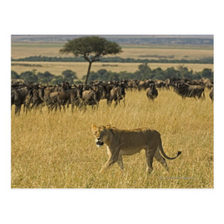Masai Mara National Reserve, Kenya, Africa Postcard