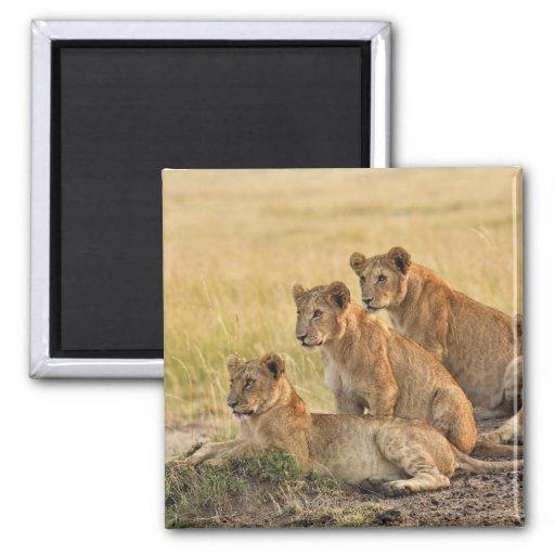 Masai Mara National Reserve, Kenya, Jul 2005 Fridge Magnets