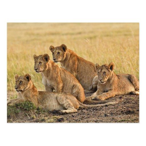 Masai Mara National Reserve, Kenya, Jul 2005 Postcard