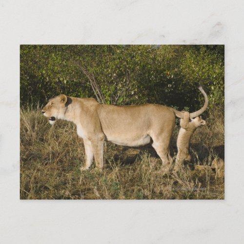 Masai Mara National Reserve Kenya Postcard