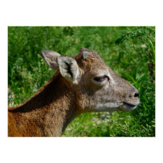 Mascota de la cabra salvaje de Cerdeña Póster