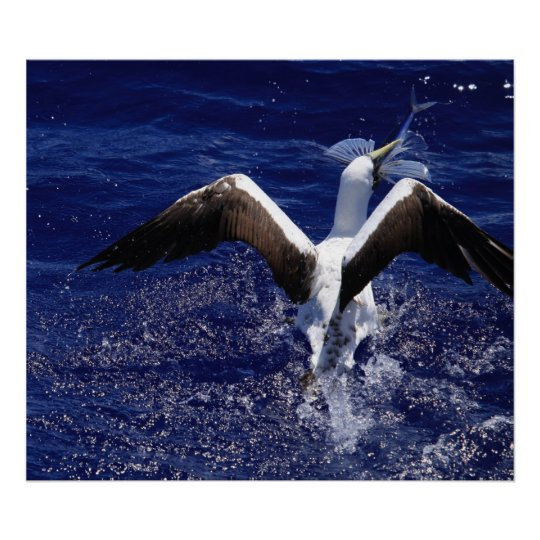 Masked Booby - Flying Fish Print