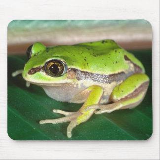 Masked Treefrog, Smilisca baudini , Native to Mouse Pad