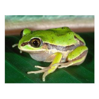 Masked Treefrog, Smilisca baudini , Native to Postcard