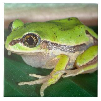 Masked Treefrog, Smilisca baudini , Native to Tile