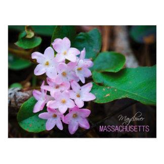 Massachusetts State Flower: Mayflower Postcard
