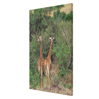 Massai Giraffe 4 Canvas Print