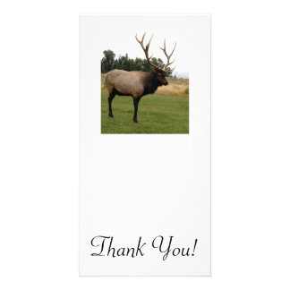 Massive Elk With Big Rack Stands in Lawn Near Mead Card