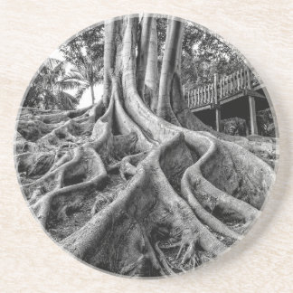 Massive rubber tree roots drink coaster