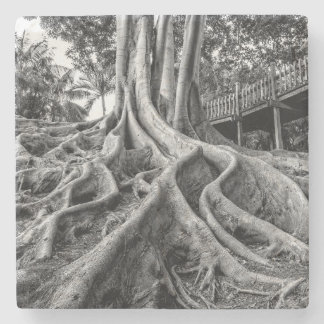 Massive rubber tree roots stone coaster