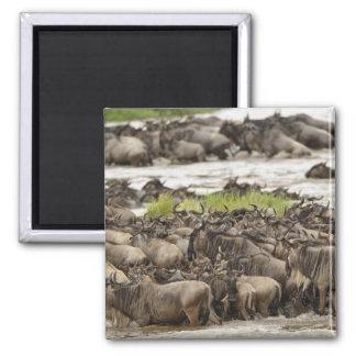 Massive Wildebeest herd during migration, 2 Inch Square Magnet
