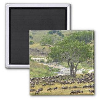 Massive Wildebeest herd during migration, Magnet