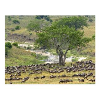 Massive Wildebeest herd during migration, Postcard
