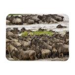Massive Wildebeest herd during migration, Rectangular Photo Magnet