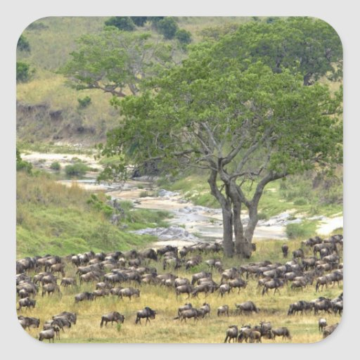 Massive Wildebeest herd during migration, Square Sticker