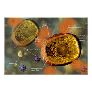 Mast cell poster photo print