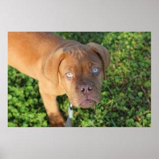 mastín del perrito de dogue de bordeaux en hierba póster
