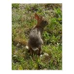Materia de las liebres del conejo de conejito tarjetas postales