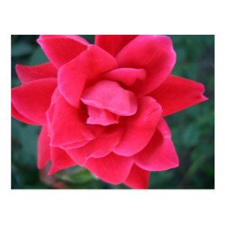 Materia del diseñador de CricketDiane del rosa Postales