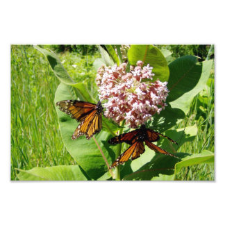 Mating Monarch Butterfly on Milkweed Photo