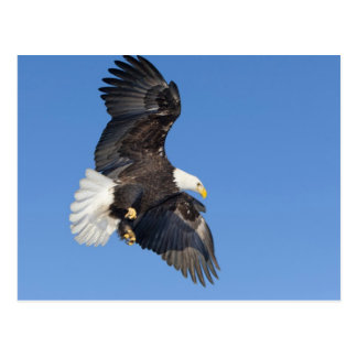 Mature Bald Eagle in flight with wings spread Postcard