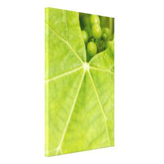Maturing grapes canvas print