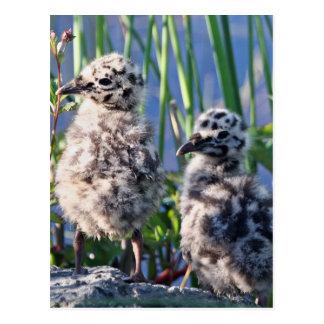 Maúllan los polluelos de la gaviota tarjetas postales