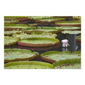 Mauricio Pamplemousses SSR botánico Fotografía