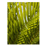 Mauritius, Central Mauritius, Moka, palm 2 Postcard