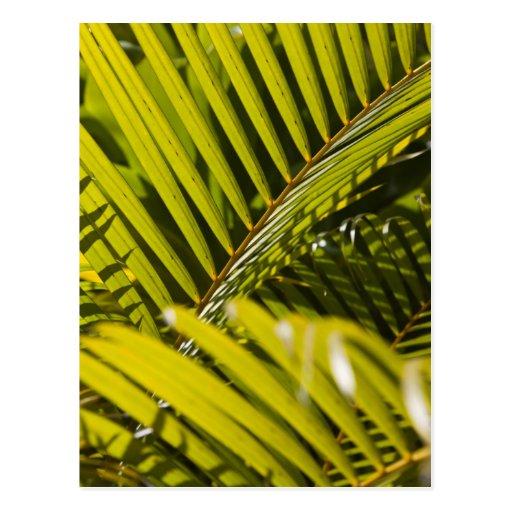 Mauritius, Central Mauritius, Moka, palm Postcard
