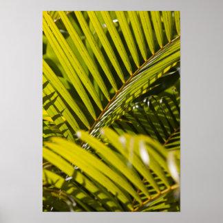 Mauritius, Central Mauritius, Moka, palm Poster