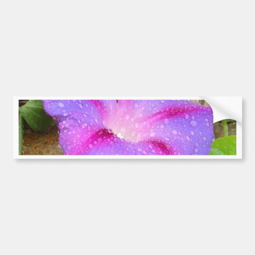 Mauve and Magenta Morning Glory with Water Drops Bumper Sticker