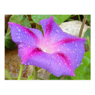 Mauve and Magenta Morning Glory with Water Drops Postcard
