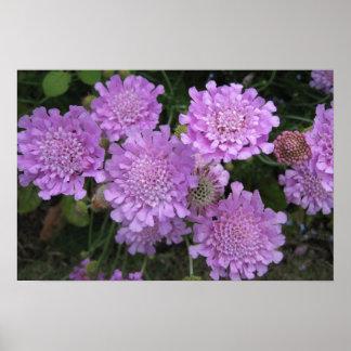 Mauve Scabiosa perennial flower Poster