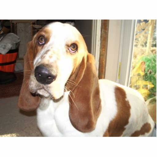 Max the pathetic basset hound acrylic cut outs