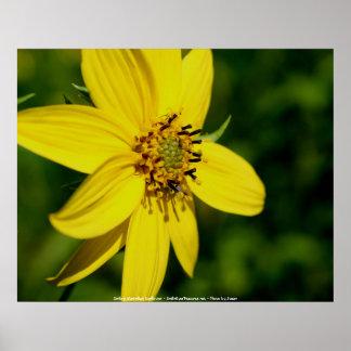 Maximilian Sunflower Flower Photography Poster