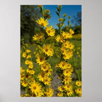 Maximilian's Sunflower (Helianthus Maximiliani) Poster
