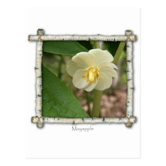 Mayapple Wildflower Postcard
