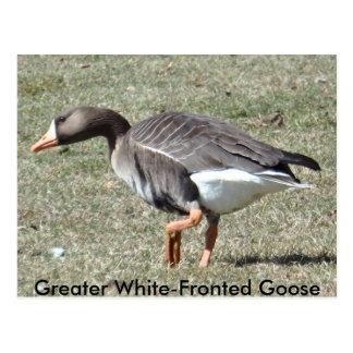 Mayor postal de pecho blanco del ganso
